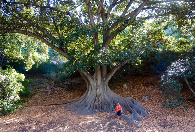 Moreton Bay Fig with Kriti, Tree Love workshop, Perth, Australia